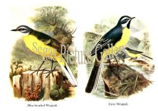 Blue-headed Wagtail & Grey Wagtail
